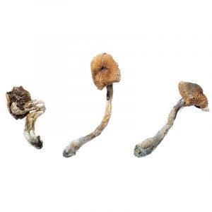 B+ Shroom strain